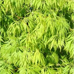 Japanese Maple varieties (Acer palmatum) with intensely coloured & beautifully shaped foliage. Green Japanese Maple, Japanese Maple Varieties, Back Gardens, Small Gardens, Plants For Shady Areas, Acer Trees, Japanese Garden Plants, Back Garden Design, Acer Palmatum