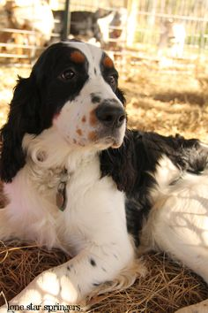 Viggo, our handsome, tri-colored English Springer Spaniel male. Lone Star…