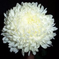White Football Mum Flower 6 bunches or 60 stems 110