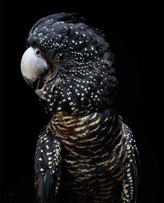 Animals And Pets, Funny Animals, Cute Animals, Pretty Birds, Beautiful Birds, Bird Pictures, Animal Pictures, Bird Book, Australian Birds