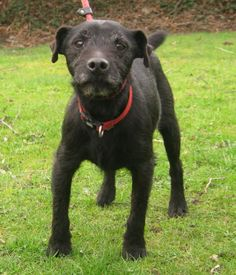 """Patterdale Terriers are considered by many to be the """"elite"""" of the go-to-ground hunting terrier breeds."""