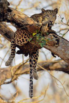 Male Leopard by Sandeep Dutta on 500px