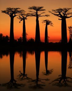 Sunset in the Avenue of the Baobabs who lining between Morondava and Belon'i Tsiribihina in the Menabe region in western Madagascar. Forest Photography, Amazing Photography, Photography Ideas, Baobab Tree, Nature Decor, Nature Wallpaper, Science And Nature, Nature Pictures, Amazing Nature