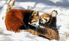 Usually solitary red panda cubs amaze zoo crowd with playful fight ...