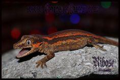 GQR's Available Gargoyle Geckos - Gargoyle Queen Reptiles