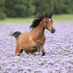 -Arabian foal-