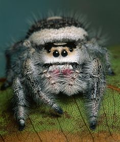 Ready for her closeup :)  The Jumping Spider (Salticidae)