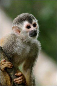Un #singe #saïmiri,