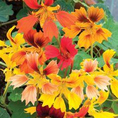 Nasturtium 'Phoenix' - Half-hardy Annual Seeds - Thompson & Morgan Worldwide