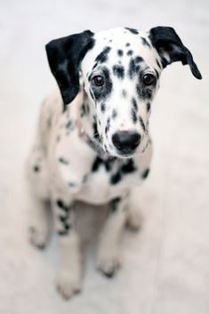♥Reminds me of Tosche, our spotless Dalmation.  His spots remained on his skin under his coat of short white hair...definitely a mutation.  Years ago!!!