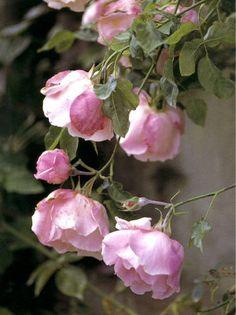 roses on a bush