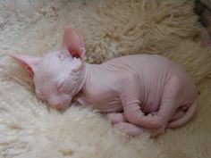Yess i love hairless cats lol