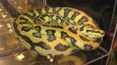 Jaguar Carpet Python by ReptileMan27