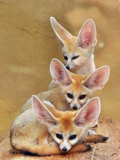 Take a close look of these Fennec Foxes http://criticalshadows.com/videoportals/