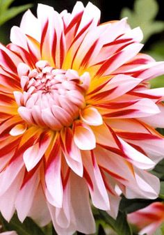 Dahlia 'Caribbean Fantasy' Page not found. Flowers Nature, Exotic Flowers, Tropical Flowers, Amazing Flowers, Beautiful Flowers, Outdoor Plants, Garden Plants, Dahlia Flower, Zinnias