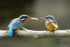 Kingfisher feeding it's young