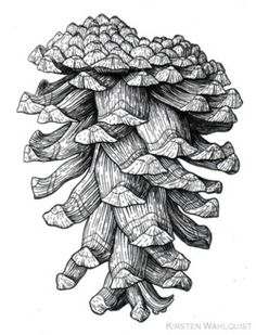 illustratorkirsten: WOW! I'm blown away by everyone who's liked and reblogged the photo of my pinecone work-in-progess! Thank you all very much! I've cleaned it up and scanned it, and this is the result! I may tweak it a little bit more; I haven't decided yet. This is actually a part of my final project for a Botanical Illustration class. I'm less than a month away from finishing the Natural Science Illustration certificate program at the University of Washington, so the crunch is on!