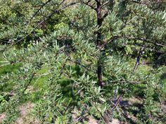 シーベリーの樹をちょっとひいて見たんだよ♪ 2012年5月26日撮影