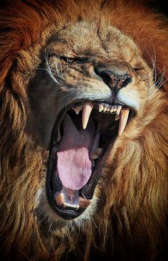 Lion !