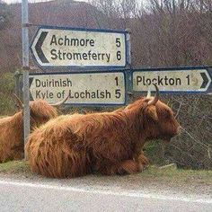 Muckle coo at rest, and directionless.
