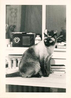 I love the apple heads. - Siamese Cat - Ideas of Siamese Cat - Vintage Siamese Cat Photo. I love the apple heads. The post Vintage Siamese Cat Photo. I love the apple heads. appeared first on Cat Gig. Siamese Dream, Siamese Cats, Cats And Kittens, Sphynx Cat, I Love Cats, Crazy Cats, Cool Cats, Animal Gato, Tonkinese