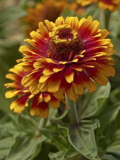 Zinnia 'Zowie! Yellow Flame'    2006 AAS Winner is a bouquet standout.