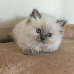 #cutestkittensincanada #cute #himalayancat #himalayan #cat #cats #kitten #kittens #himalayankitten #catsofinstagram #catlovers #kitty #adorable #ilovemycat #catlover #cutecat #instakitty #valleyhimalayans #persiankitten #blueeyes #bestcats_oftheworld #jj_welovepets #kittensofinstagram by valleyhimalayans