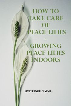 Indoor Gardening How To Take Care Of Peace Lilies - Growing Peace Lilies Indoors 1 - Any plant lover will want to grow 'Peace Lily', the plant with glowing flowers. However to know exactly how to take care peace lileis is very important. Home Design, Modern Design, Organic Gardening, Gardening Tips, Indoor Gardening, Gardening Books, Outdoor Gardens, Peace Lily Indoor, Peace Lily Care