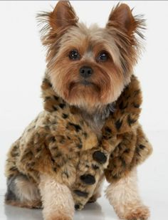 1000 Images About Yorkies On Pinterest Yorkie
