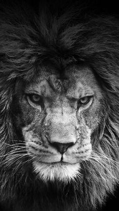 - A captive male lion stalks towards the camera. This is one of the few captive lions that decends from the last of the known barbary lion lineage. Trendy Tattoo Lion Drawing Tigers My spirit animal Post anything (. Beautiful Cats, Animals Beautiful, Animals And Pets, Cute Animals, Wild Animals, Funny Animals, Nature Animals, Farm Animals, Gato Grande