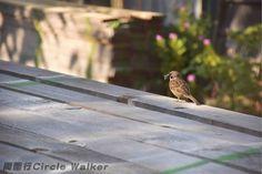 with feather羽毛~ Hong Kong 香港 . More on: https://www.circlewalker.me/sparrow .  #歐洲 #Europe #旅遊 #Travel #周圍行 #CircleWalker #攝影 #photography #art #藝術 #camera #nikon #cs6 #photoshop #Sparrow #麻雀 #雀 #鳥 #bird #fowl #feather #羽 #fly #飛 #HK #HongKong #香港 #亞洲 #asia