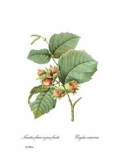 Botanical drawing, hazelnut