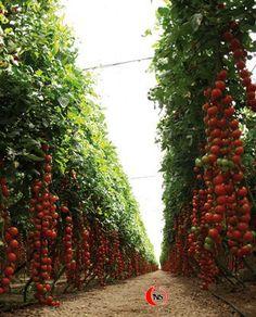 tomates de Almeria
