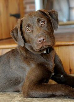 A Chocolate Lab named Ruger would complete our Lab family!