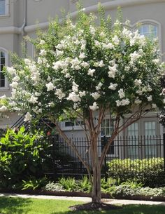 Neches crape myrtle tree | Natchez' Crape Myrtle | Picture Plants