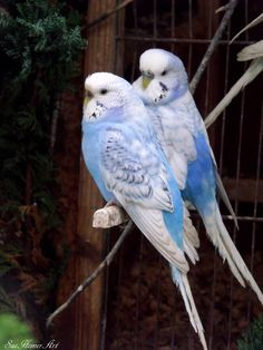 We now have 2 sweet parakeets -Sweet Pea is our blue female and Felix is our gray/blue male (?).  Both are rescues.  Our little male had issues with his beak, which makes it impossible to determine his sex. The store employees felt very strongly that he was male, so we're going with that!  Our girl is much happier now that she has a buddy!  They are adorable.