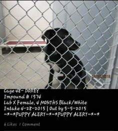 URGENT in Roswell, NM PUPPY needs pledges, shares, rescue...DUE OUT TODAY! ▪ DOREY ▪ 4-month-old ▪ Lab X **PUPPY** ▪ Female ▪ Black/White ▪ Cage #48 | Impound #1574 ▪ Intake 4-28-15 | Due Out 5-05-15They will not hesitate to kill her No. 575-624-6722 Roswell Animal Control 705 E. McGaffey, Roswell, NM 88201 ✔ LINK: https://m.facebook.com/RoswellUrgentAnimalsAtAnimalControl/photos/pb.176246809209991.-2207520000.1430739207./443427929158543/?type=1&source=42 ✔ MAIN PAGE LINK…