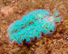 The Solar-Powered sea slug, Elysia Crispata, clade Sacoglossa