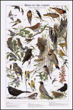 Birds of the Garden: Summer Identification Chart