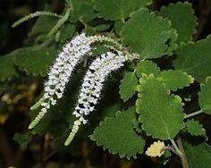 Male Flowers Of Misty Plume Bush Tetradenia Riparia Aka Ginger Bush Nutmeg Bush Iboza