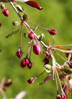 Malus Purpurea Cherry, Fruit, Flowers, The Fruit, Prunus