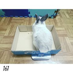 16.0310 DAY161 每天都有在長胖胖 前陣子的腸胃阻塞應該是漸漸好轉了 #nuomi #instaanimal #bunnylove #bunny #usagi#ウサギ#instabunny #rabbits #instarabbit #dailyflufffeature #侏儒兔 #兔  #rabbit #iganimal_snaps #iganimal#instacute#pets #happy_pet #taiwan #nuomi161 #161 #星期四 #thursday #nuomiimformation by nuomi_1002