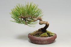 Pinus densiflora 赤松 10.5cm