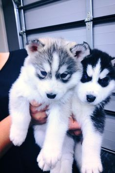 Adorable husky puppies, James will want one of these when we get married and have our own place<3