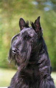Scottish terrier, Franklin de Relyford