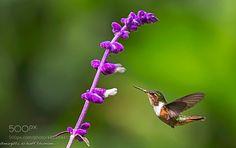 hummingbird.... by MargittaThomann via http://ift.tt/2eOpGew