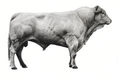 White Bull (charcoal on primed linen) by Jonathan Delafield Cook, 2008-09