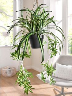 Plantinhas no escritório Spider Plant (Chlorophytum) houseplant that clean the airA healthy spider plant with babies to start more plants. Green Plants, Tropical Plants, Chlorophytum, Decoration Plante, Floor Plants, Inside Plants, Modern Home Interior Design, Spider Plants, Farmhouse Wall Decor