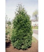 Incense Cedar (Calocedrus decurrens) - Monrovia -15-20'Tall x 10-15' Wide, partial to full sun.