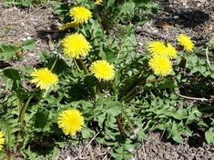 All the parts of the plant can be used to create a slurry.The liquid manure of dandelion is good for tomatoes because it is rich in potash that ensures a good flowering and by fruiting Horticulture, Garden Online, Plants, Dandelion Flower, Permaculture Gardening, Little Garden, Potager Garden, Manure Garden, Creative Gardening